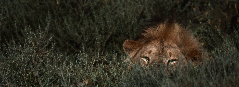 Fine Art: Hiding Lion - Africa Collection